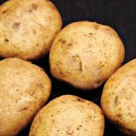 Potato Home Guard SPECIAL OFFER 30 Tubers for only £3