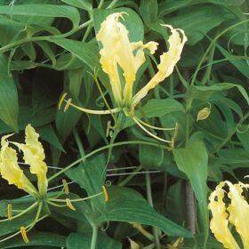 Gloriosa Rothschildiana Lutea