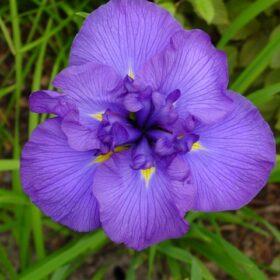 Iris Ensata Azure