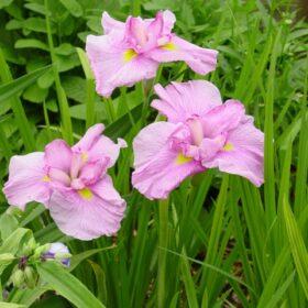 Iris Ensata Momagasumi