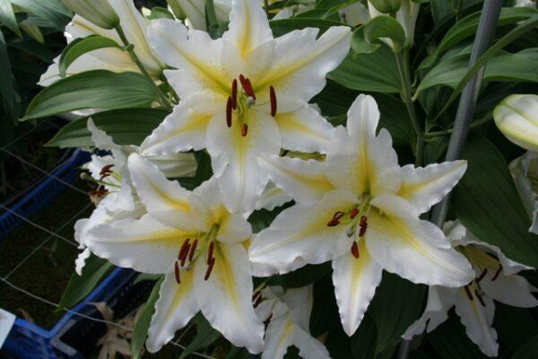 Lilium Venezuela