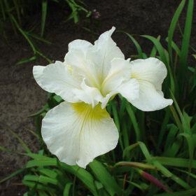 Iris Sibirica Harpswell Happiness AGM