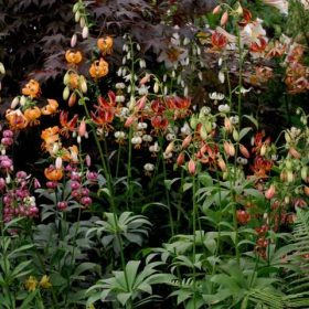 Lilium Martagon Lily Collection