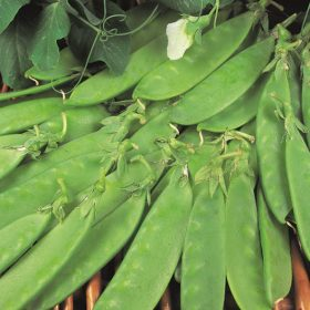 Pea Oregon Sugar Pod