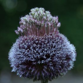 Allium Forelock