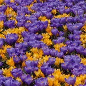 Crocus Remembrance & Yellow Mammoth Collection - 100 bulbs