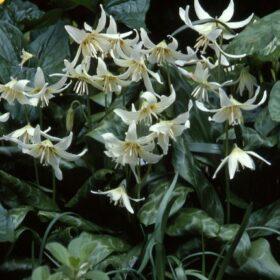 Erythronium californicum White Beauty AGM