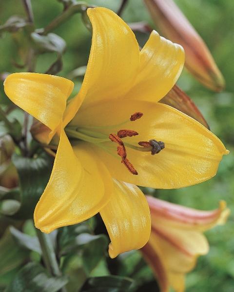 Lilium Golden Splendour AGM