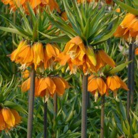 Fritillaria imperialis Sulphurino