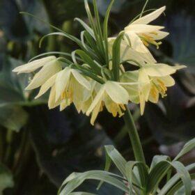 Fritillaria raddeana