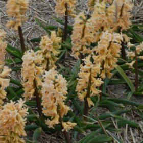 Hyacinth Outdoor Odysseus