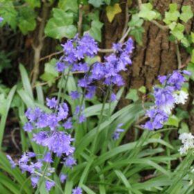 Hyacinthoides non-scripta-bakkums-blue