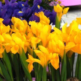 Iris Dutch Golden Beauty