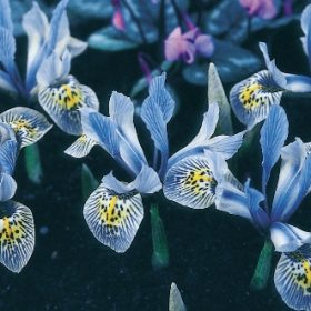 Iris Dwarf/Reticulata Katharine Hodgkin AGM