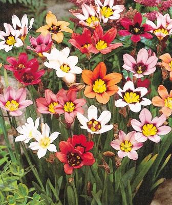 Sparaxis tricolour mixture