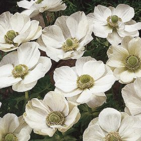 Anemone De Caen The Bride