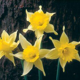 Daffodil Division 10 Species pseudonarcissus Lobularis