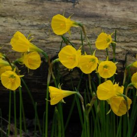 Daffodil Division 10 Species Oxford Gold