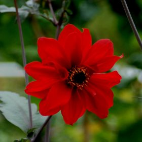 Dahlia Bishop of Auckland