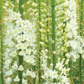 Eremurus White Sensation