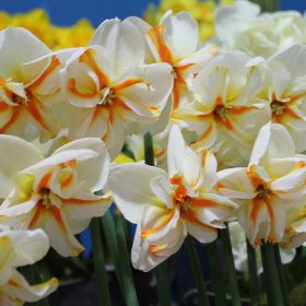 Daffodil Division 11 Split Corona Trepolo