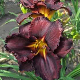 Hemerocallis Black-stockings