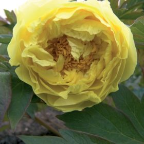 Paeony Yellow Crown