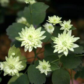 Anemonella thalictroides Betty Blake