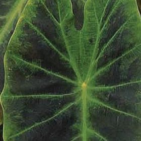 Colocasia Emerald