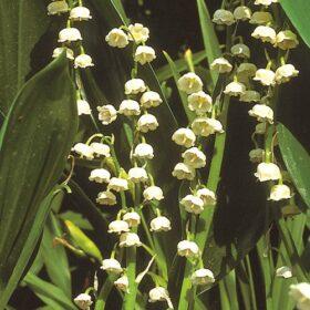 Convallaria majalis AGM