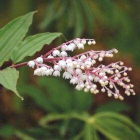 Maianthemum oleraceum