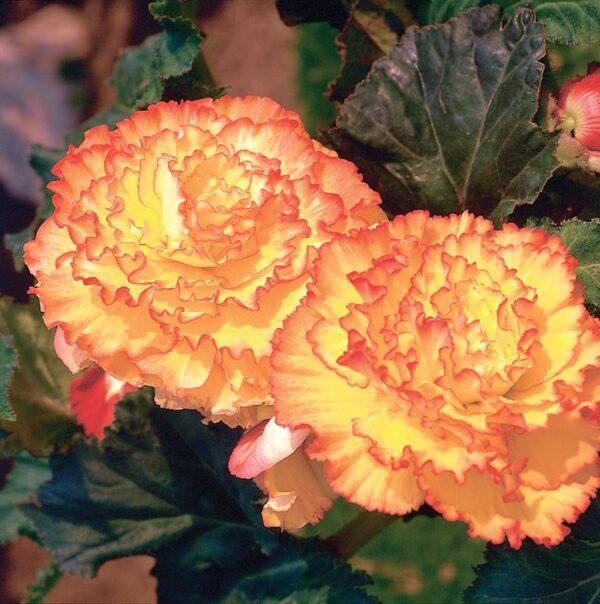 Begonia Picotee Yellow/Red