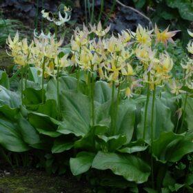 Erythronium Joanna