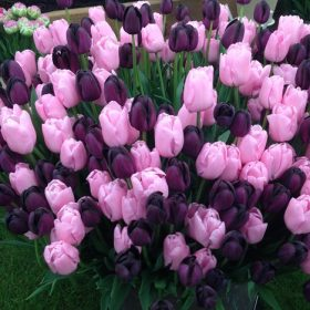 Tulip Cut Flower/Border Partners - Queen of Night and Pink Diamond