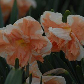 Daffodil Division 11 Split Corona Apricot Whirl