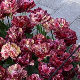 Tulip Double Early Nachtwacht