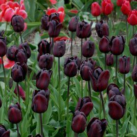Tulip Triumph Continental