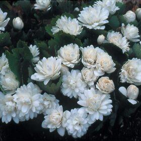 Sanguinaria canadensis flore plena AGM