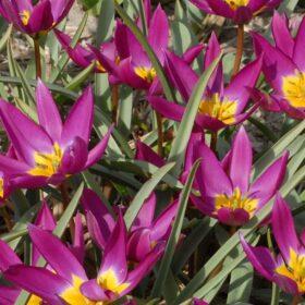 Tulip Specie humilis violaceae Yellow Base