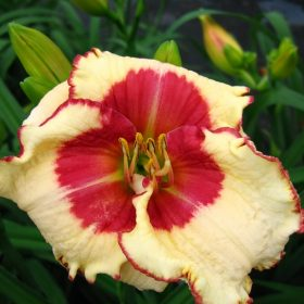 Hemerocallis Ageless Beauty