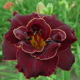 Hemerocallis Night Embers