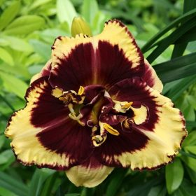 Hemerocallis Tiger Blood