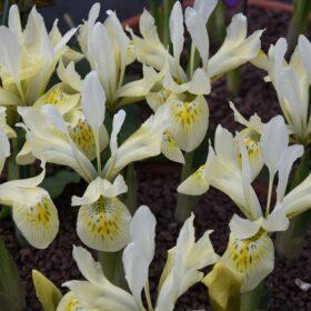 Iris Dwarf/Reticulata Katharine's Gold