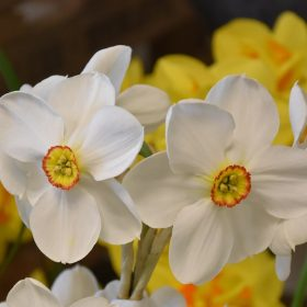 Daffodil Division 9 Poeticus Actaea AGM