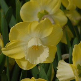 Daffodil Division 2 Large Cupped Avalon