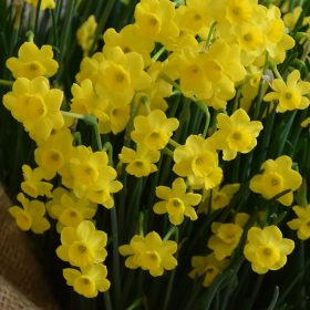 Daffodil Division 10 Species More and More