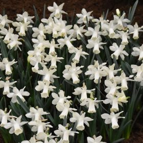 Daffodil Division 1 Trumpet Snow Baby OFFER £19.50 PER 50 BULBS