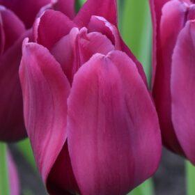Tulip Triumph Merlot