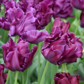 Tulip Parrot Victoria's Secret