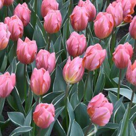 Tulip Single Early Pretty Princess